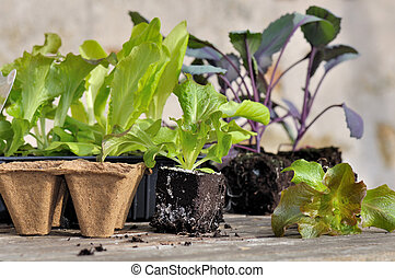 seedlings for planting - lettuce plants and biodegradable ...