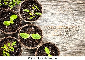 seedlings, groeiende, in, turf, mos, potten