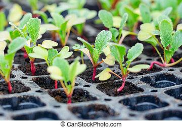seedlings, groente, broeikas, sprouting