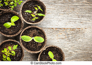 Seedlings growing in peat moss pots - Potted seedlings...