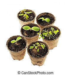 Seedlings growing in peat moss pots