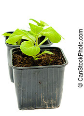 seedlings in a pot - green sprouts in a pot on a white ...
