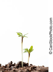 Seedlings in dirt on white background