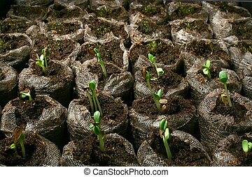 Seedlings in peat pots.