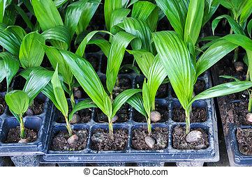 seedlings, közül, olaj pálma