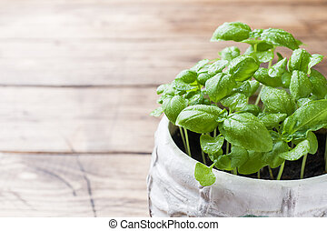 Seedlings of Basil in a ceramic pot. Green seedlings of fragrant grass, young plants, leaves and gardening.