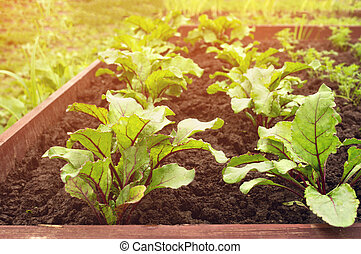 Seedlings of beets growing in the garden after watering. Sunny.