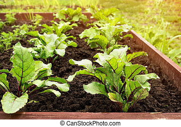 Seedlings of beets growing in the garden after watering