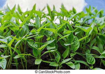 Seedlings of bell pepper close-up in selective focus