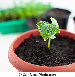 Seedlings of cucumbers in pots near the window, a green leaf close-up.