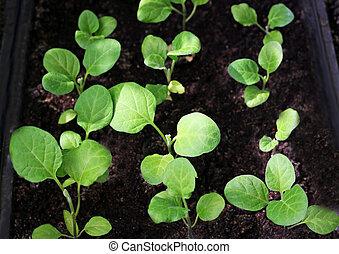 Seedlings of eggplant.