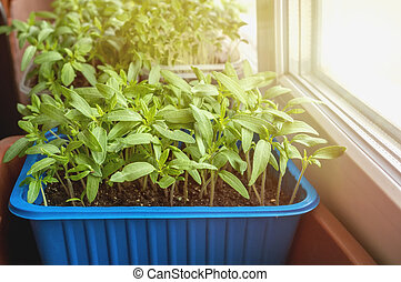 Seedlings of eggplants, tomatoes and sweet peppers for the urban garden and garden grow in a plastic container on the window in the ground on a Sunny day.
