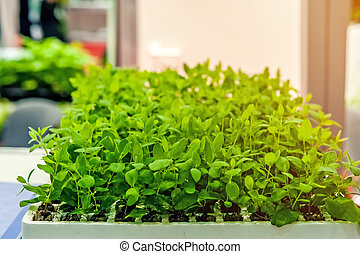 Seedlings of flowers and vegetables growing in foam containers in paper bags on the window in the ground on a Sunny day.