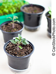 Seedlings of green tomatoes on the windowsill in the house