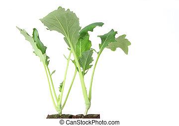 Seedlings of kohlrabi - Two seedlings of kohlrabi (Brassica ...