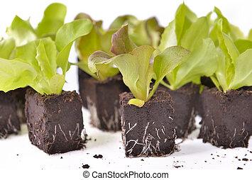 seedlings of lettuce on lump of soil on white background