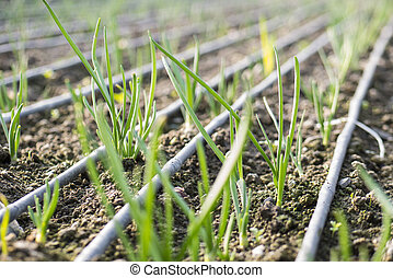 Seedlings of onions in a greenhouse