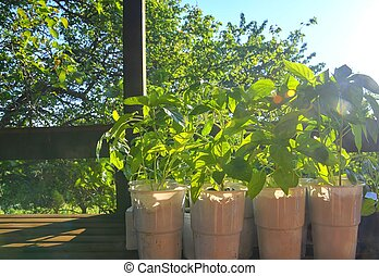 Seedlings of peppers and tomatoes on garden table. Seedlings ready to plant. Sun flare.
