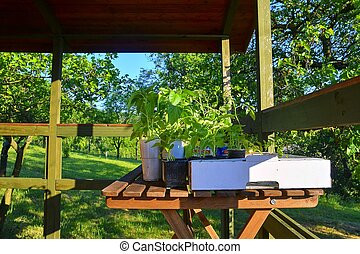 Seedlings of peppers and tomatoes on garden table. Seedlings ready to plant. Sun flare. Gardening concept.
