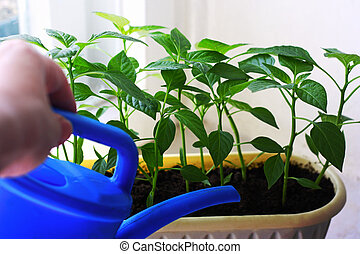The unfocused hand of the man holding the watering can and watering the seedlings.