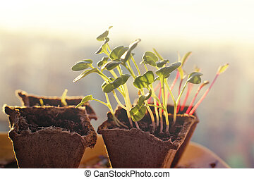 Seedlings of radishes and beets in peat pots at dawn in the spring