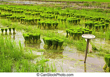 Seedlings of rice farming.