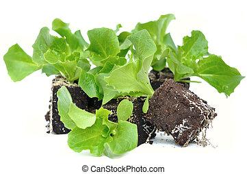 seedlings of salad