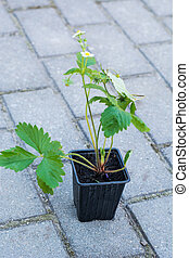 Seedlings of strawberry in plastic saucer