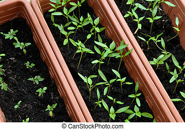 Seedlings of tomato and pepper planted in plastic pots
