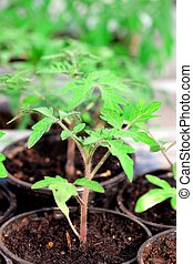 Seedlings of tomato on a white background