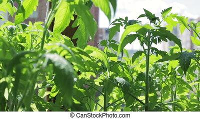 Seedlings of tomato on windowsill.