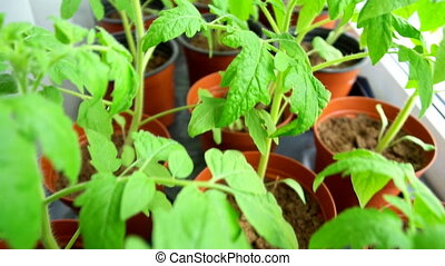 Seedlings of tomatoes at home on the windowsill.