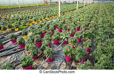 Seedlings of tomatoes growing in pots in greenhouse