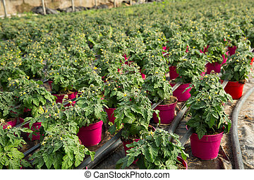 Seedlings of tomatoes growing in pots in hothouse, nobody