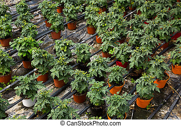Seedlings of tomatoes growing in pots in hothouse