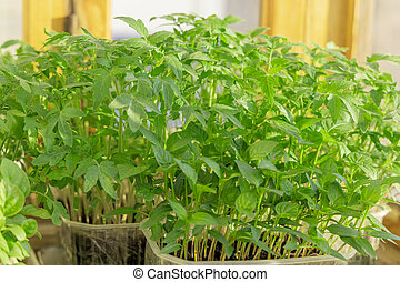 Seedlings of tomatoes in plastic tray