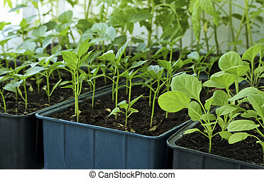 Seedlings of tomatoes, peppers and eggplant.