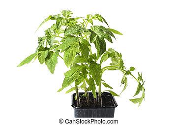 Seedlings of tomatoes