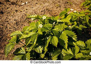 seedlings of wild strawberry