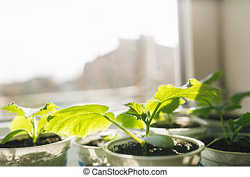 seedlings of young plants on a window in a glass
