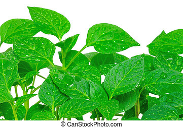 Seedlings pepper - Garden pepper cress in tray isolated on ...