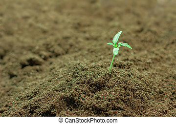 Seedlings plant. Young seedling growing in a soil.