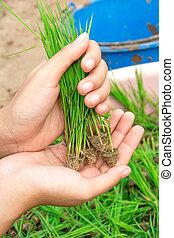 Seedlings Rice in hand