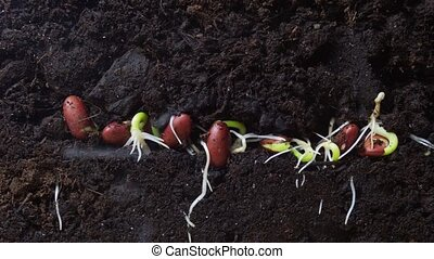 seedlings, timelapse, pousse, agriculture, concept., haricot, underground.