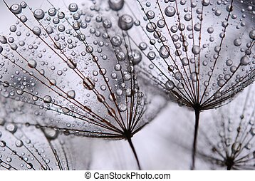 seeds, одуванчик