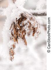 seeds in hoarfrost