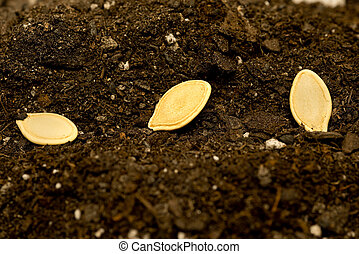 Seeds Laying In Row In Soil