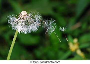 seeds of a dandelion by wind