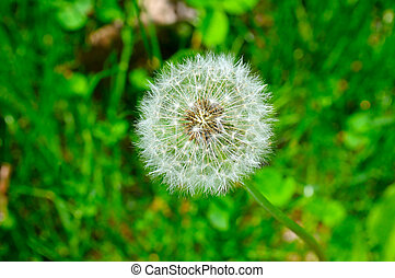 seeds of a dandelion on a background of green grass