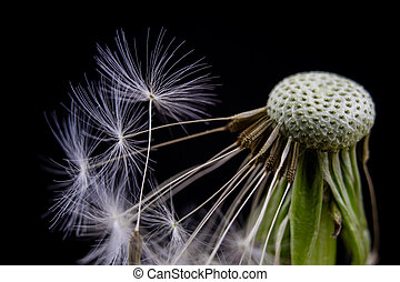 Seeds of dandelion in a close-up. Grain spread by the wind. Blowing on dandelions glad children of every generation.